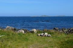 Schöne Schafe, die nahe blauem Sommerozean weiden lassen Lizenzfreies Stockbild