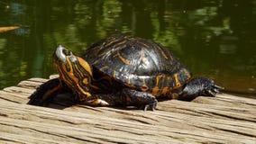 Schöne Schildkröte, die auf dem botanischen Garten der Sonne sich entspannt Stockfotografie