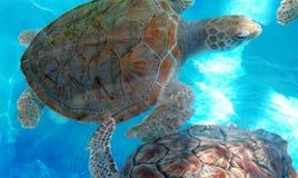 Schöne Schildkröten im Aquarium stockfotografie