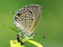 Schöne Schmetterling decends auf der Blume Lizenzfreies Stockbild