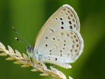 Schöne Schmetterling decends auf der Blume Lizenzfreie Stockfotografie