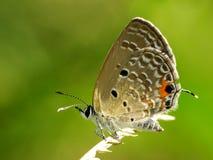 Schöne Schmetterling decends auf der Blume u. dem Blatt Stockfotos