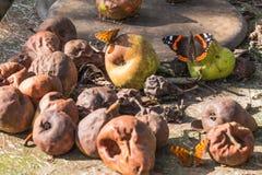 Schöne Schmetterlinge, die auf faule Birnen sitzen Baum auf dem Gebiet lizenzfreies stockbild