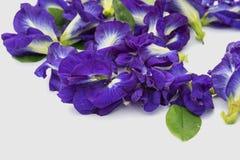 Schöne Schmetterlings-Erbse Lizenzfreie Stockfotos