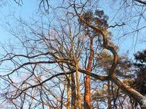 Schöne schneebedeckte Bäume im Winter, Litauen Stockbild