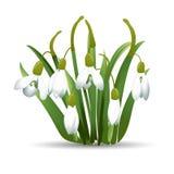 Schöne Schneeglöckchen mit grünen Blättern Getrennt auf weißem Hintergrund Auch im corel abgehobenen Betrag Lizenzfreie Stockfotos