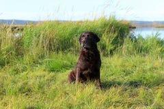 Schöne Schokolade Labrador unter dem Reisig Lizenzfreie Stockfotos