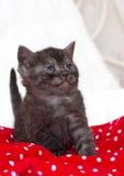 Schöne schottische junge Katze Stockfotografie