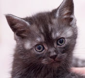 Schöne schottische junge Katze Lizenzfreies Stockbild