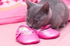 Schöne schottische junge Katze Lizenzfreie Stockfotos