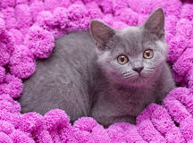 Schöne schottische junge Katze Lizenzfreies Stockfoto