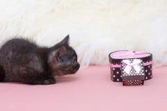 Schöne schottische junge Katze Lizenzfreie Stockfotografie