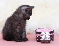 Schöne schottische junge Katze Stockbild