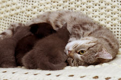 Schöne schottische junge Katzen Stockbilder