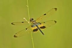 Schöne schwarze und gelbe Flügel einer Libelle Stockbild