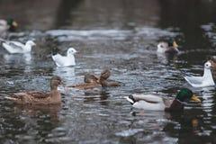 Schöne schwimmende Wildenten stockfotografie