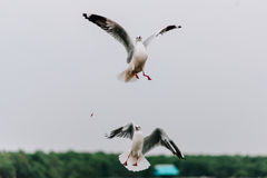 Schöne Seemöwen, die in den Himmel fliegen Stockfotos