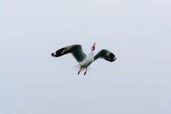Schöne Seemöwen, die in den Himmel fliegen Stockfotografie