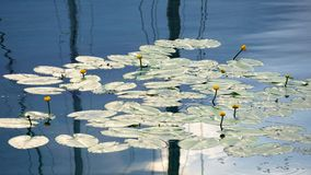 Schöne Seeroseblüte auf dem Fluss Lizenzfreies Stockfoto