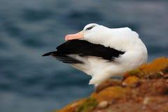 Schöne Seevogel Schwarz-browed albratross Albatros, der auf der Klippe sitzt Albatros mit dunkelblauem Wasser im Hintergrund alba Stockfotos