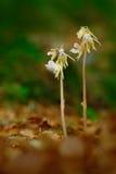 Schöne seltene wilde Orchidee Geist-Orchidee, Epipogium-aphyllum Orchidee im Wald zwei blühen Orchidee im Naturlebensraum Geist Stockbild