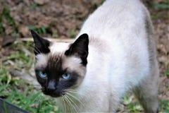 Schöne siames Katze am Garten Lizenzfreies Stockbild