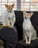 Schöne siamesische Katze Lizenzfreie Stockfotos