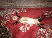 Schöne siamesische Katze auf roter Wolldecke Stockfotografie