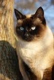 Schöne siamesische Katze draußen Stockfotos