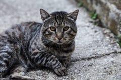 Schöne silberne Katze Lizenzfreies Stockbild