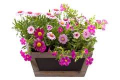 Schöne Sommerblumen in einem Topf lokalisiert Lizenzfreie Stockfotografie