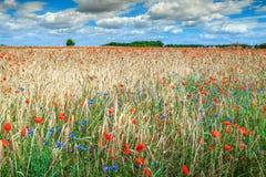 Schöne Sommerlandschaft mit Korn und rotem Mohnblumenfeld Stockfotos