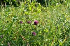 Schöne Sommerwiese mit grünem Gras und rosa Kleeblumen stockfotografie