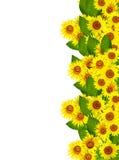 Schöne Sonnenblume Lizenzfreies Stockbild