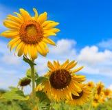 Schöne Sonnenblume Stockfoto