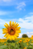 Schöne Sonnenblume Lizenzfreie Stockfotografie