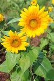 Schöne Sonnenblume Stockbilder