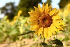 Schöne Sonnenblume auf dem Gebiet Lizenzfreie Stockbilder