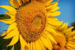 Schöne Sonnenblume auf einem Hintergrund des blauen Himmels. Stockbild