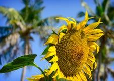 Schöne Sonnenblume auf einem Hintergrund des blauen Himmels Stockbilder
