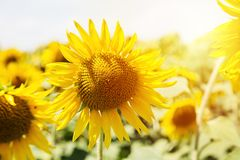 Schöne Sonnenblume auf einem Sonnenblumenfeld bei Sonnenuntergang lizenzfreie stockbilder