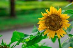 schöne Sonnenblume auf undeutlichem Hintergrund Lizenzfreies Stockbild