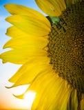Schöne Sonnenblume bei Sonnenuntergang Stockfoto
