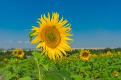 Schöne Sonnenblume an der Blütezeit lizenzfreie stockfotos