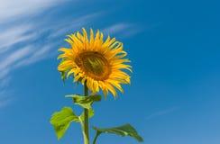 Schöne Sonnenblume an der Blütezeit gegen blauen Himmel stockbilder