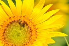 Sonnenblume und Biene mit Unschärfehintergrund stockfotografie