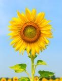 Schöne Sonnenblume gegen einen hellen Himmel Lizenzfreie Stockfotografie