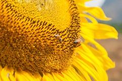 Schöne Sonnenblume und Biene Stockbild