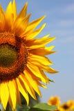 Schöne Sonnenblumen Stockfoto
