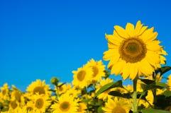Schöne Sonnenblumen Lizenzfreie Stockfotos